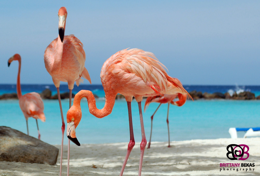 Hot pink flamingos in aruba by brittany bekas photography