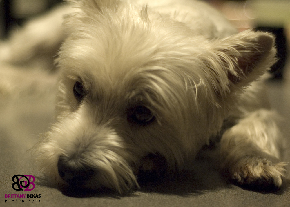 Brittany Bekas' Westie dog, Bentley. A sweet, lap dog.