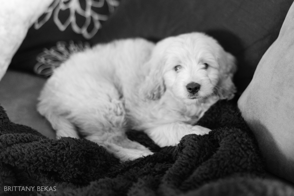 Clifton the Mini Goldendoodle - Paw Pad Goldendoodles_0014