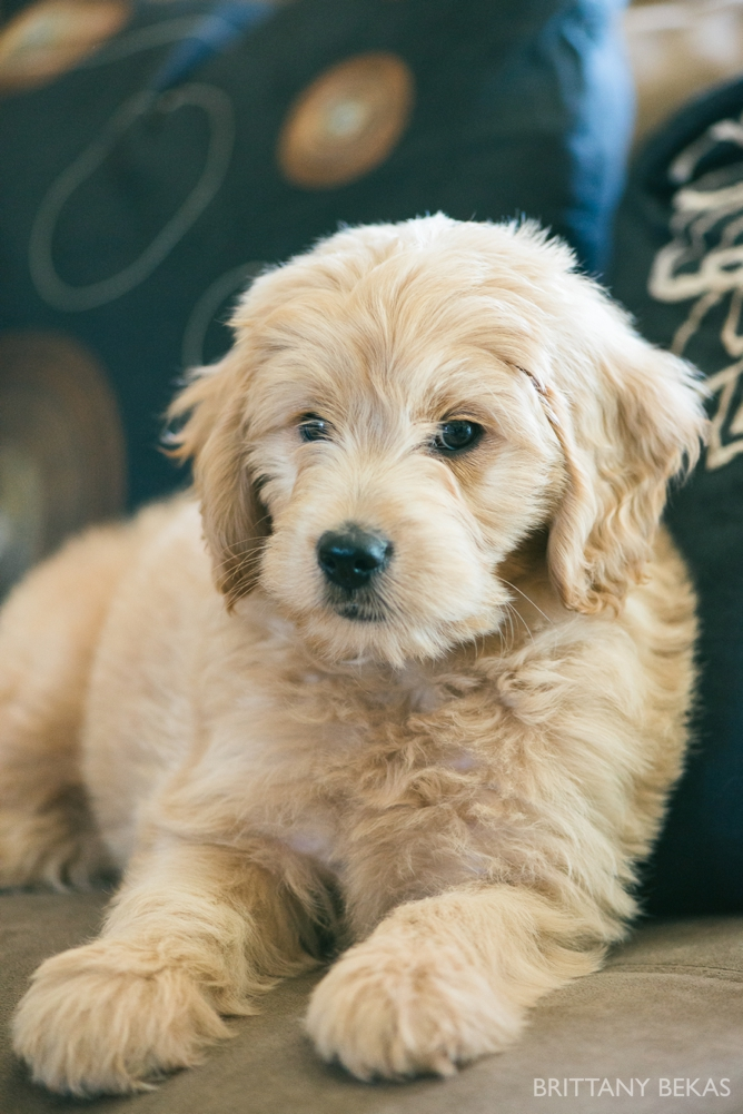 Clifton the Mini Goldendoodle - Paw Pad Goldendoodles_0023