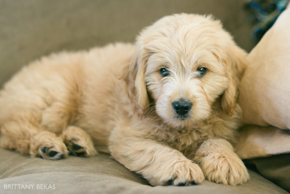 Clifton the Mini Goldendoodle - Paw Pad Goldendoodles_0027