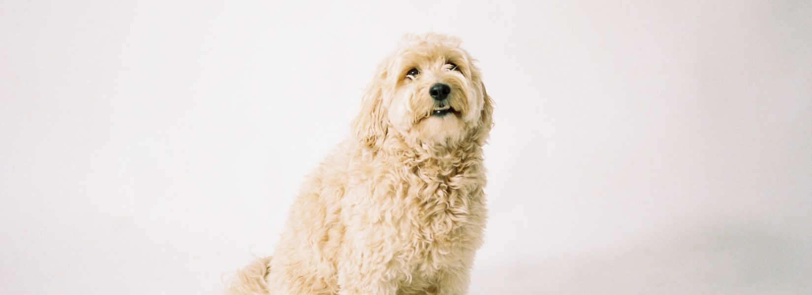 Must Haves for your Goldendoodle – Puppy Supply List