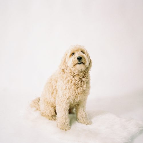 Must Haves for your Goldendoodle - Puppy Supply List + Essentials